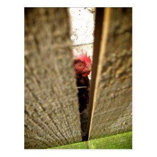 Chicken [Postcard]