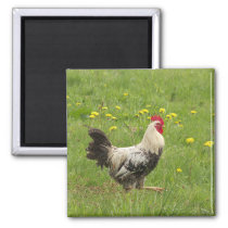 chicken, rooster, animal, bird, farm, agriculture, magnet