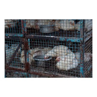 Chickens for sale in Cage Poster