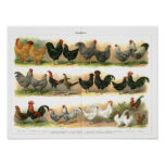 Chickens Roosters Breeds illustration Poster
