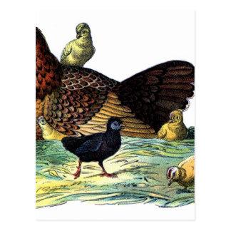Chickens Vintage Animal Postcard