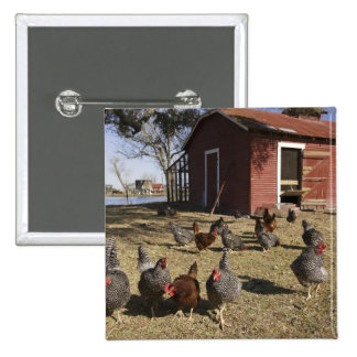 Chickens working grounds near hen house Cliburn Button