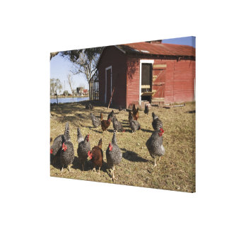 Chickens working grounds near hen house Cliburn Canvas Print
