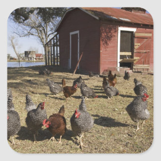 Chickens working grounds near hen house Cliburn Square Sticker