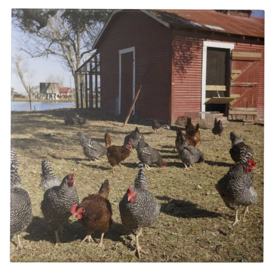 Chickens working grounds near hen house Cliburn Tile