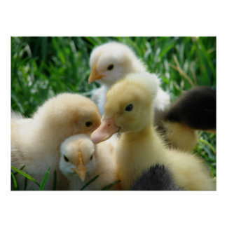 Chicks and Duckling Print