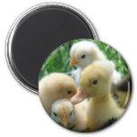 Chicks and Ducklings Fridge Magnet