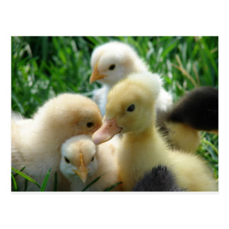 Chicks and Ducklings Postcard