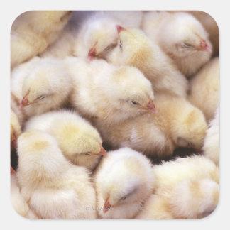 chicks, brood of chickens square sticker