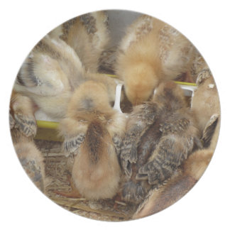 Chicks on straw eating feed in the chicken coop melamine plate