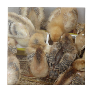 Chicks on straw eating feed in the chicken coop tile