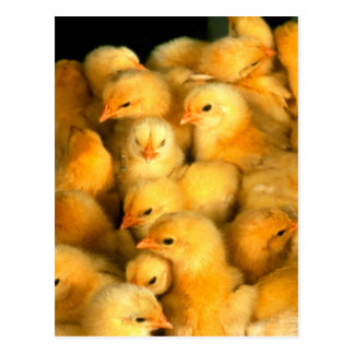 Chicks Postcard
