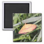 Chickweed Geometer Magnets