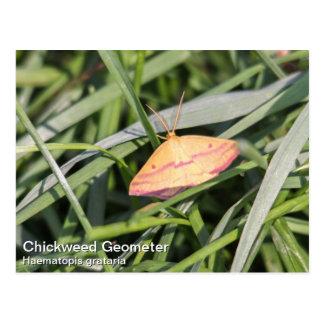 Chickweed Geometer Postcard