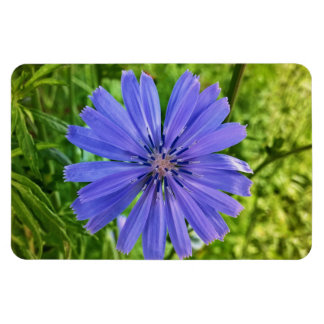 Chicory at Bangor City Forest Magnet