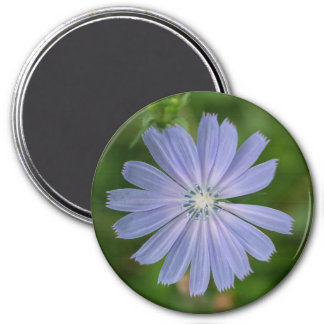 Chicory Blue Wildflower Floral Magnet