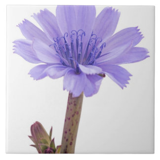 Chicory flower large square tile