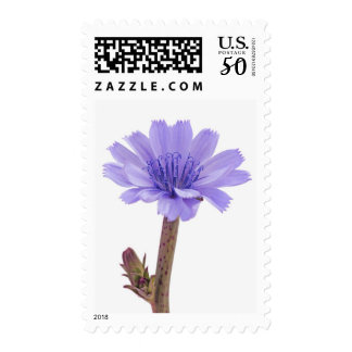 Chicory flower postage