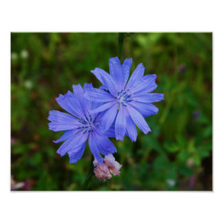 Chicory Flowers Posters