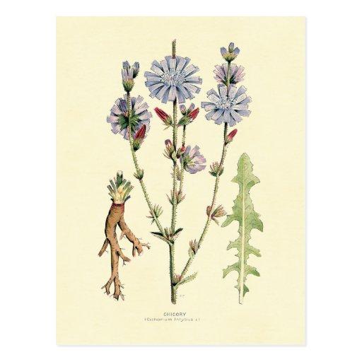 Chicory Postcards