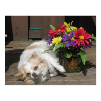 Chihuahua And Flowers Postcard