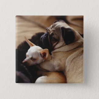 Chihuahua and Pug sleeping, close-up Pinback Button