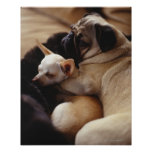 Chihuahua and Pug sleeping, close-up Poster