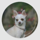 Chihuahua blanca etiquetas redondas