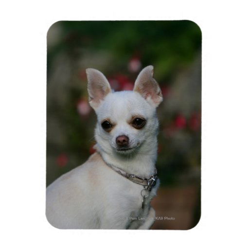 Chihuahua blanca iman flexible
