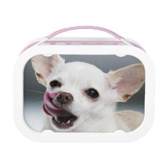 Chihuahua blanca que lame los labios