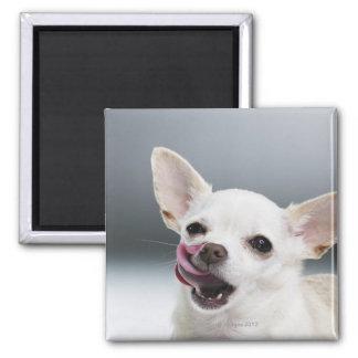 Chihuahua blanca que lame los labios imán de frigorífico