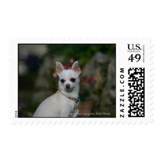 Chihuahua blanca timbre postal