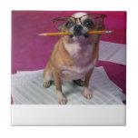 Chihuahua con la teja del lápiz