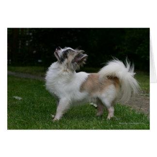 Chihuahua de pelo largo que mira la cámara tarjeta de felicitación
