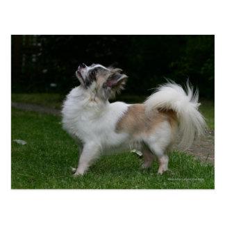 Chihuahua de pelo largo que mira la cámara tarjeta postal