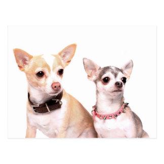 Chihuahua dog couple postcard