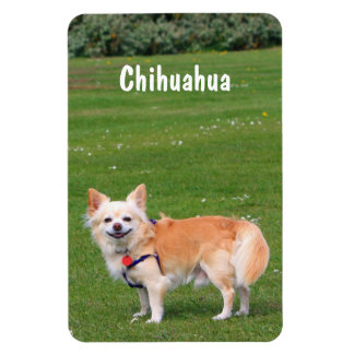 Chihuahua dog long-haired beautiful photo magnet