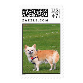 Chihuahua dog long-haired beautiful photo postage