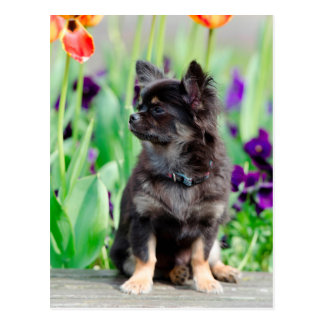 Chihuahua dog lovers photo portrait cute postcard
