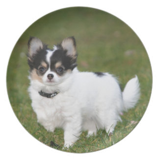 Chihuahua dog standing on a green lawn plate