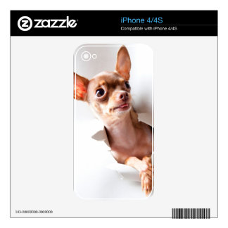 Chihuahua  dog  Tearing Through Decal For iPhone 4
