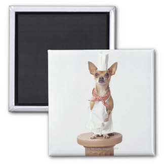 Chihuahua dog wearing chef's whites, studio shot 2 inch square magnet