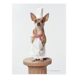 Chihuahua dog wearing chef's whites, studio shot postcard