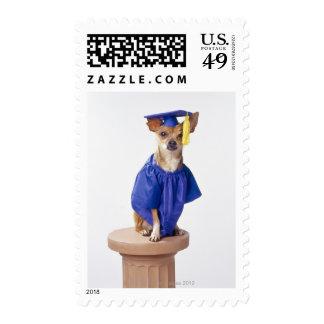 Chihuahua dog wearing graduation uniform, studio postage