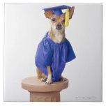 Chihuahua dog wearing graduation uniform, studio ceramic tile