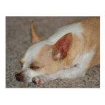 Chihuahua el dormir postales