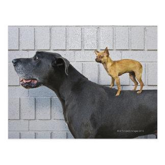 Chihuahua en la parte posterior de great dane postal