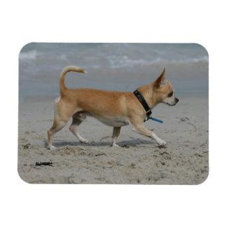 Chihuahua en la playa imanes rectangulares