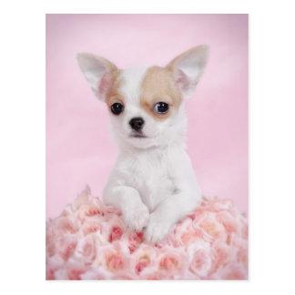 Chihuahua en rosa con los rosas tarjeta postal