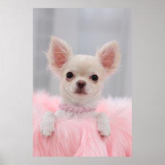 Chihuahua en rosa póster